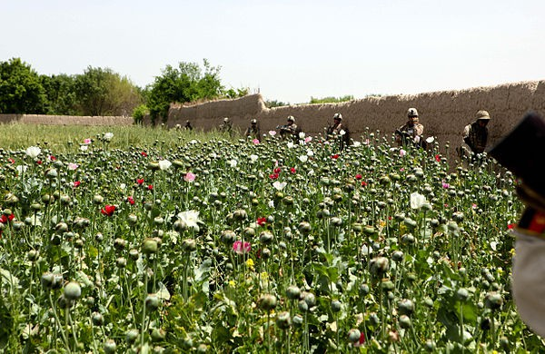 Poppy field in Helmand Province, Afghanistan.
